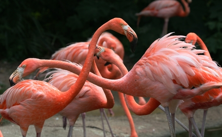 fighting pink flamingos photo