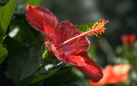 red exotic flower Stock Photo - 1413064