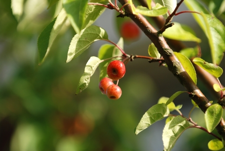 crabapple: Crab apples on a tree Stock Photo