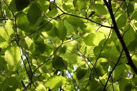 Canopy of green beech leaves seen from below photo