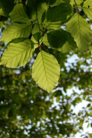 Green leaves of a beech tree photo