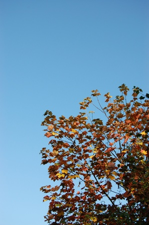 aceraceae: Red leaves of a sycamore tree against a blue sky Stock Photo