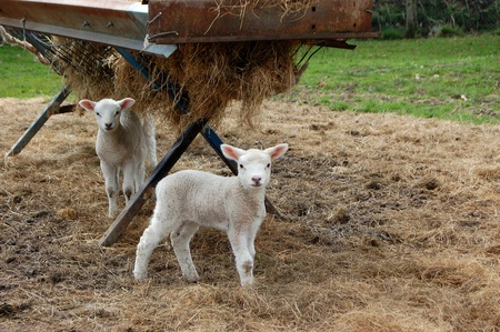 trough: Two cute lambs standing by a feeder full of hay