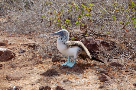 booby: Blue-footed booby standing on volcanic rock in the Galapagos Islands Stock Photo