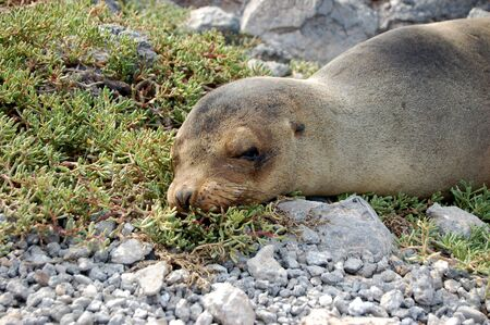dozing: A sea lion dozing on shore in the Galapagos Islands Stock Photo