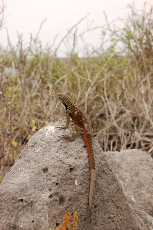 cold blooded: Lava lizard sitting on volcanic rock in the Galapagos Islands