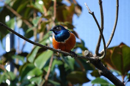 superb: Superb starling with bright plumage Stock Photo