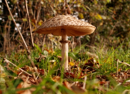 Mushroom at ground level showing the gills under the cap Stock Photo - 16005241