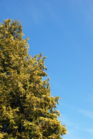 lawson: A tall conifer tree  Lawson Cypress  against a blue sky - with copy space