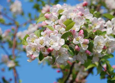 Closeup of a cluster of crab apple blossom in spring photo