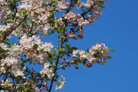 crab apple tree: Crab apple tree blossoming in spring against a blue sky