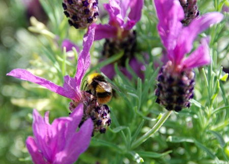 pollinators: Bumble bee pollinates butterfly lavender flowers  Lavender is great for attracting bees and other pollinators to the garden  Stock Photo