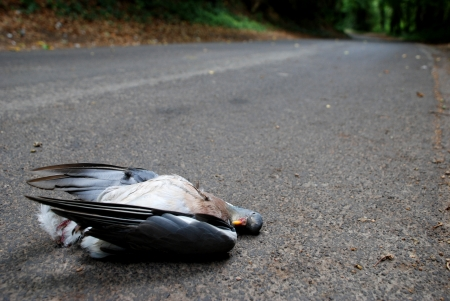 Wood pigeon lies dead in a country lane photo