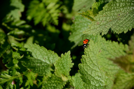Seven spot ladybird walking along the edge of a stinging nettle leaf photo