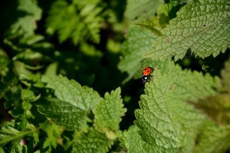 stinging  nettle: Seven spot ladybird walking along the edge of a stinging nettle leaf Stock Photo
