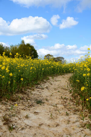 Path leading through a field of yellow oilseed rape with a blue sky above photo