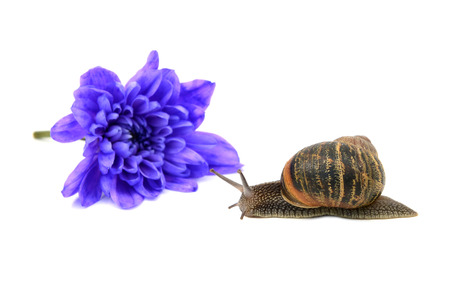 hermaphrodite: Closeup of a snail with stripy shell in front of a blue chrysanthemum bloom, isolated on a white background