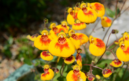 calceolaria: Macro of red and yellow calceolaria, or slipperwort, flowers Stock Photo