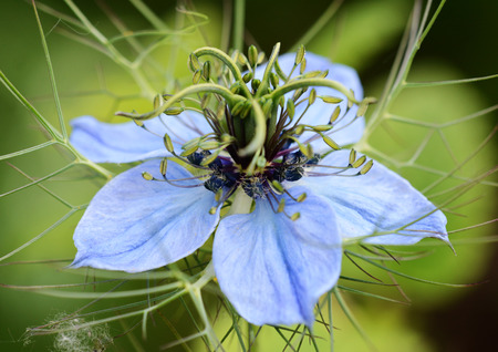 Macro of a nigella  Love in a Mist  flower head