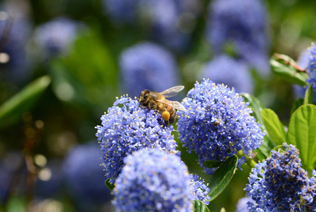 Macro of a honey bee with full corbiculae on a blue ceanothus flower photo
