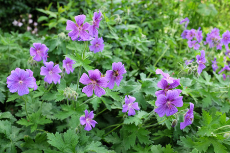 explored: Patch of purple geraniums being explored by a honey bee