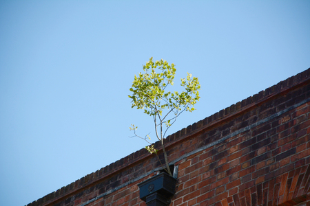 A sapling grows against the odds from a clogged gutter at the roofline of a building