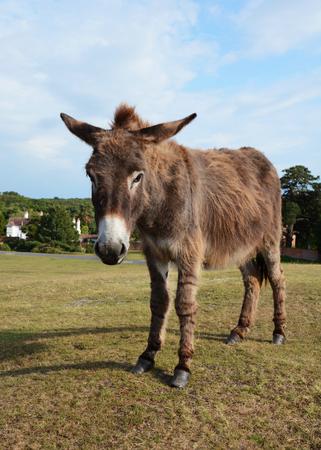 unafraid: New Forest donkey stands unafraid of visitors in Lyndhurst, Hampshire