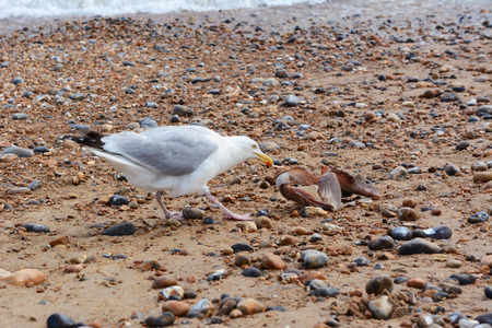 dog shark: Hungry seagull pulls flesh from the bones of a smooth-hound shark washed up in Hastings, UK Stock Photo