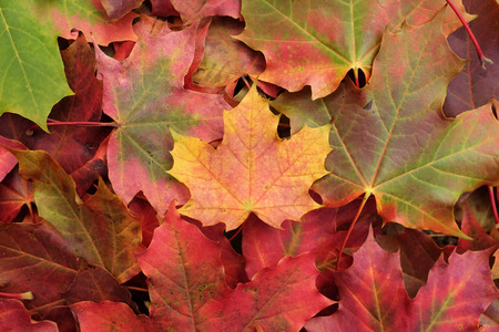 Yellow maple leaf on a heap of leaves in autumnal colours photo