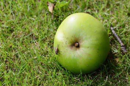 Flesh fly on a windfall apple lying on green grass photo