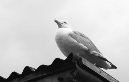 unafraid: Adult gull sitting on the corrugated iron roof of a shed at the coast - monochrome processing