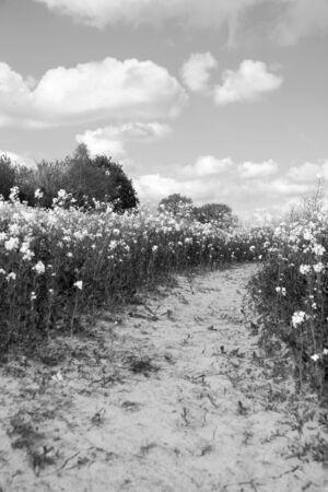 Path leading through a field of oilseed rape - monochrome processing photo