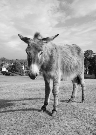 New Forest donkey stands unafraid of visitors in Lyndhurst, Hampshire - monochrome processing photo
