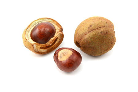 buckeye seed: Ripe conkers in open and unopened smooth seed capsules from a red horse chestnut tree