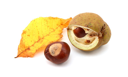 buckeye seed: Yellow fall leaf from a red horse chestnut with conker and smooth seed case broken open, isolated on a white background