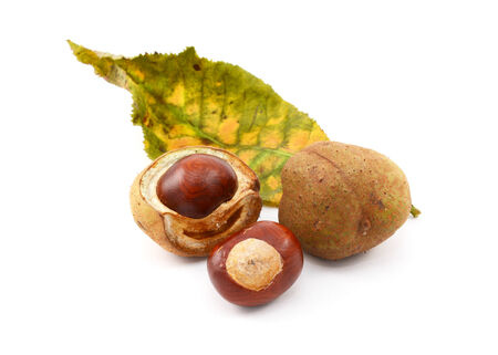 buckeye seed: Conkers and smooth seed cases with the leaf of a red horse chestnut tree, isolated on a white background