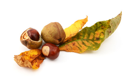 buckeye seed: Autumnal leaves with conkers and characteristic smooth seed cases from a red horse chestnut, isolated on a white background