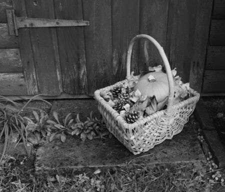 doorstep: Basket with autumnal ripe pumpkin, dry leaves and fir cones on a rustic stone doorstep - monochrome processing