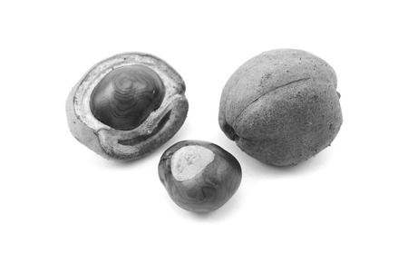 conkers: Ripe conkers in open and unopened smooth capsules from a red horse chestnut tree, isolated on a white background - monochrome processing