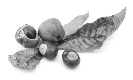 buckeye seed: Fall foliage from a red horse chestnut with conkers and smooth seed cases, isolated on a white background - monochrome processing