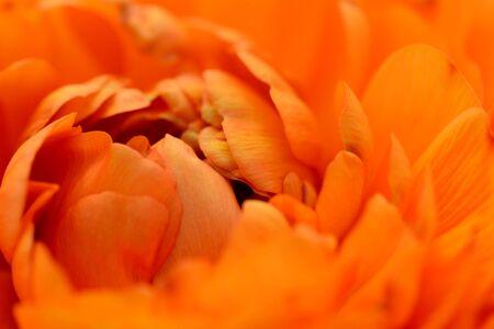 Close-up of orange ranunculus petals opening