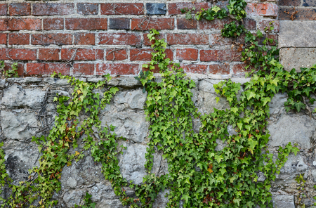 ivy wall: Green ivy climbing a weathered, dilapidated brick wall