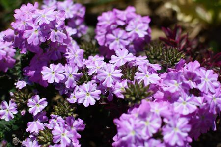 mauve: Delicate mauve and white striped verbena flowers