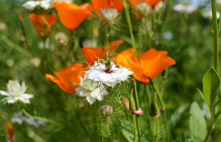 californian: White nigella flower - Love in a Mist - against orange Californian poppies in a flower bed