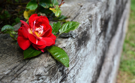 sleeper: Single deep red rose bloom against a weathered wooden railway sleeper Stock Photo