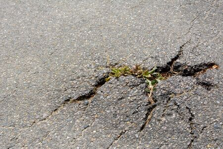 thistle plant: Thistle plant breaking through cracks in a tarmac path