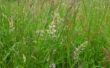 uncultivated: Diverse grasses, plants and seed heads in an uncultivated meadow