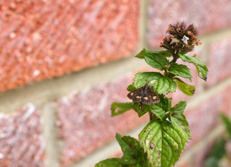 aurata: Mint moth - Pyrausta aurata - rests with open wings on a mint herb plant