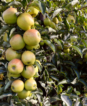 bough: Bough full of green apples hangs ready to be picked from the tree