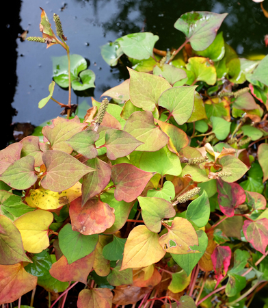 marginal: Chameleon plant with variegated autumnal foliage in a pond Stock Photo